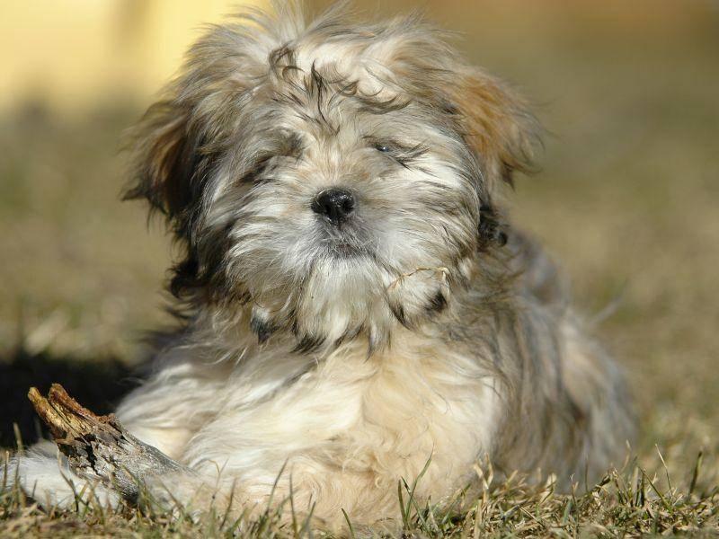 Viel Liebe, Zuneigung und familiärer Anschluss machen den Lhasa Apso glücklich – Bild: Shutterstock / Gary Jones