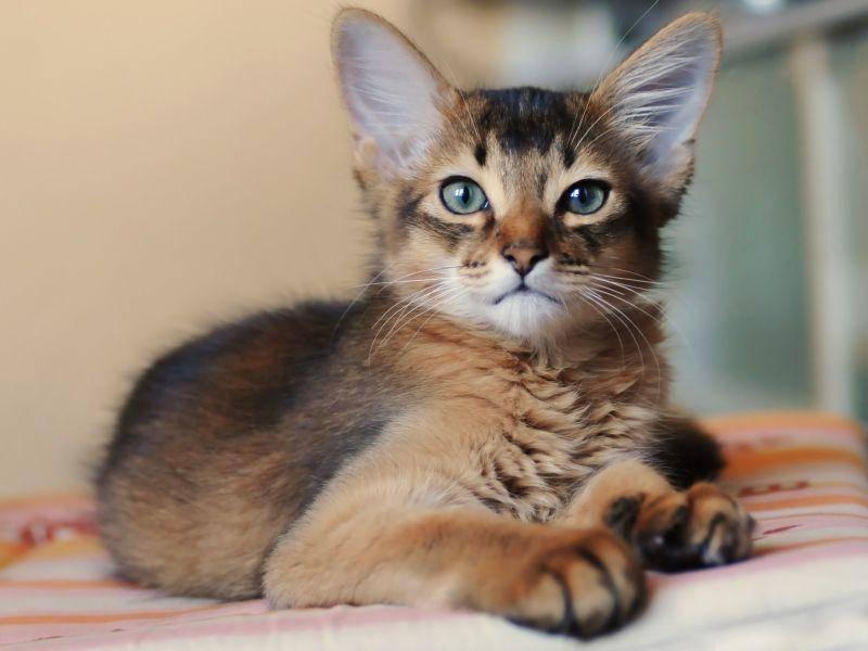Ihre wunderschöne Fellzeichnung lässt die Somali-Katze an einen Mini-Puma erinnern – Bild: Shutterstock / Nataliya Kuznetsova