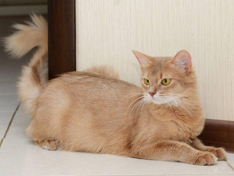 Auch in hell ist die Somali-Katze ein absoluter Hingucker – Bild: Shutterstock / nelik