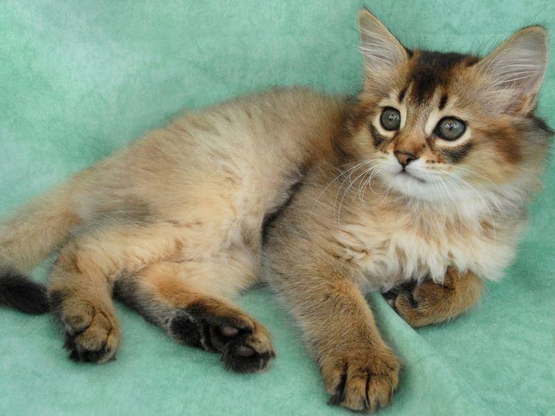 Ist sie nicht schön? Die Somali-Katze ist wirklich ein besonderer Anblick – Bild: Shutterstock / Sarah Newton