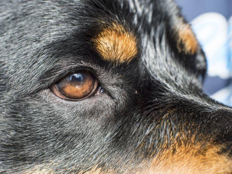 Kluge Augen und ein schönes, glänzendes Fell: Der Rottweiler ganz nah – Bild: Shutterstock / Tom Feist