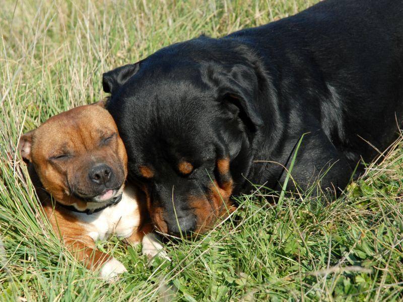 Kampfhunde? Dieser Staffordshire Bullterrier und sein Rottweiler-Kumpel ganz bestimmt nicht! – Bild: Shutterstock / cynoclub