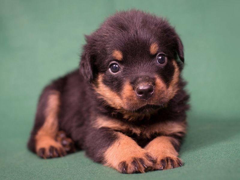 Dieser Rottweiler-Welpe ist der Kleinste in unserer Runde – Bild: Shutterstock / Paul Rich Studio