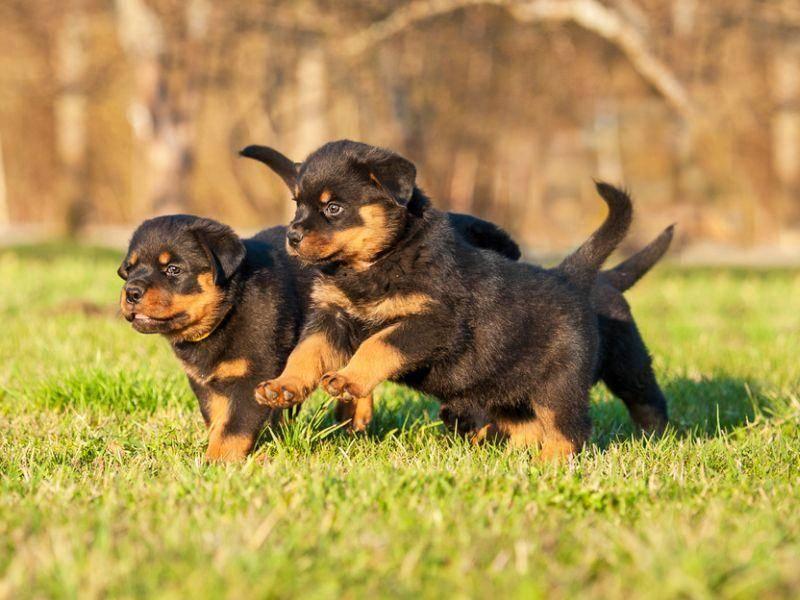 Und ab die Post: Kleines Wettrennen unter Rottweiler-Welpen – Bild: Shutterstock / Rita Kochmarjova