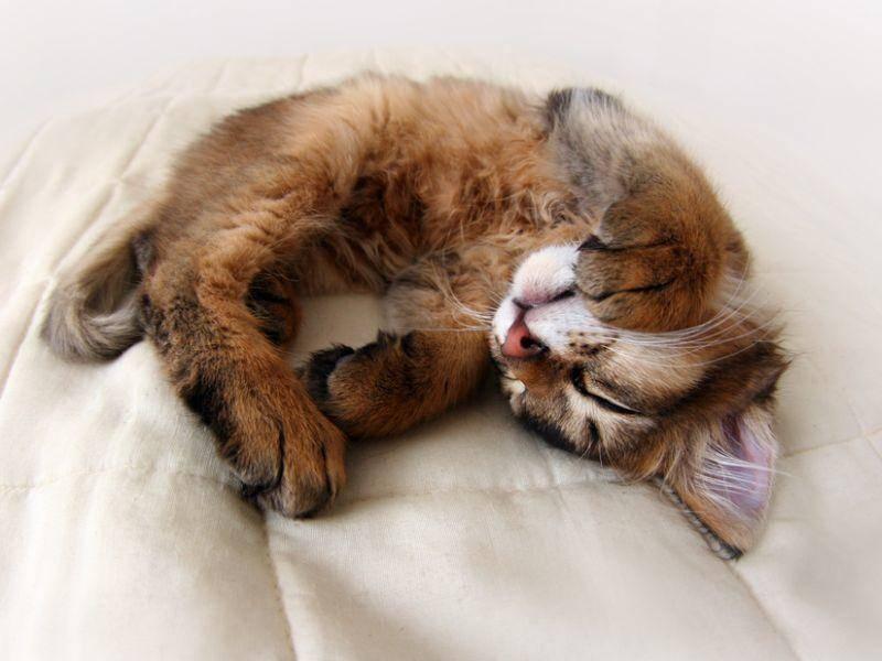 Wie alle Stubentiger ist natürlich auch die Somali-Katze ein Profi im Relaxen – Bild: Shutterstock / Julia Shepeleva