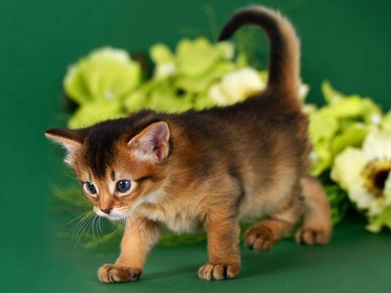 Mit rassetypischer Neugier macht diese junge Somali-Katze sich auf ihre erste kleine Tour – Bild: Shutterstock / nelik
