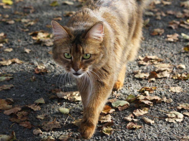 Eine ausgewachsene Somali-Katze auf Streifzug – Bild: Shutterstock / Esme