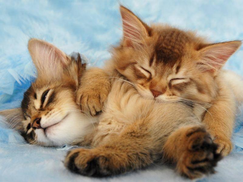 Ausgesprochen sozial und gesellig: Das ist die Somali-Katze – Bild: Shutterstock / Sarah Newton