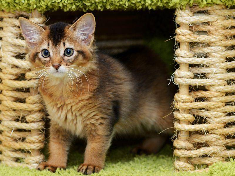 Somali-Katzen sind sehr verspielt und in jungen Jahren temperamentvoll – Bild: Shutterstock / nelik