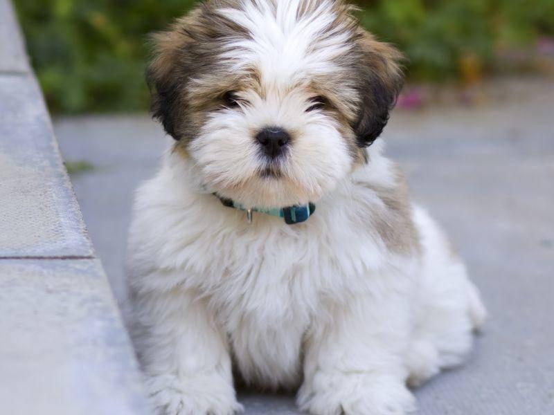 Der robuste kleine Lhasa Apso ist ein wunderbarer Familienhund – Bild: Shutterstock / Ruth Black