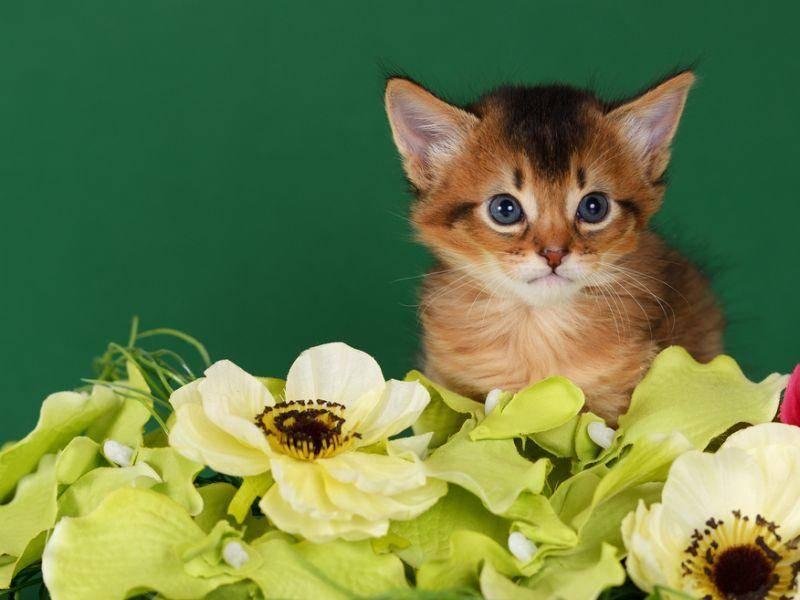 Die Fellfarbe der Somali-Katze verändert und entwickelt sich, bis sie circa zwei Jahre alt ist – Bild: Shutterstock / nelik