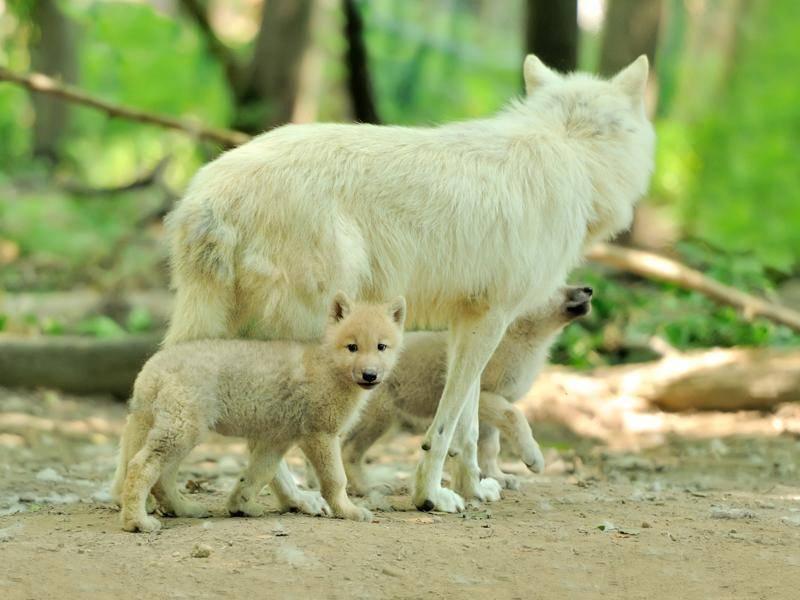 Auch draußen sind die Wölfe und ihre Jungen am liebsten gemeinsam – Bild: Shutterstock / Volodymyr Burdiak