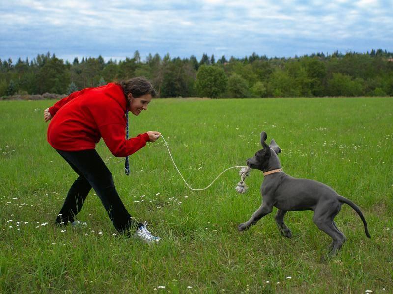 Besonders junge Dänische Doggen spielen für ihr Leben gern – Bild: Shutterstock / Rey Kamensky