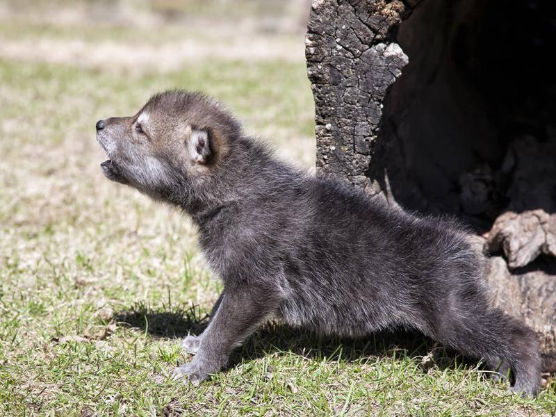 Noch ein bisschen lauter, kleiner Wolf! – Bild: Shutterstock / Critterbiz