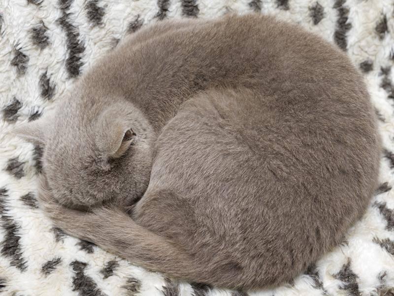 Diese Samtpfote versucht es mit der Camouflage-Technik – Bild: Shutterstock / Oleg Vinnichenko