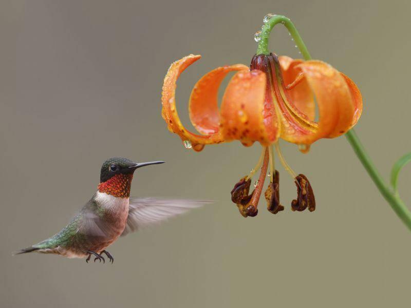 Klar, dass es für die süßen Vögel also kein Problem ist, auf der Stelle zu fliegen – Bild: Shutterstock / Brian Lasenby