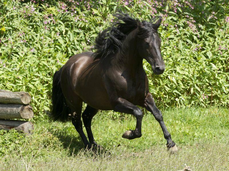 Vertreter dieser Pferderasse sind kräftig, muskulös und können bis zur hohen Schule ausgebildet werden – Bild: Shutterstock / Nicole Hollenstein