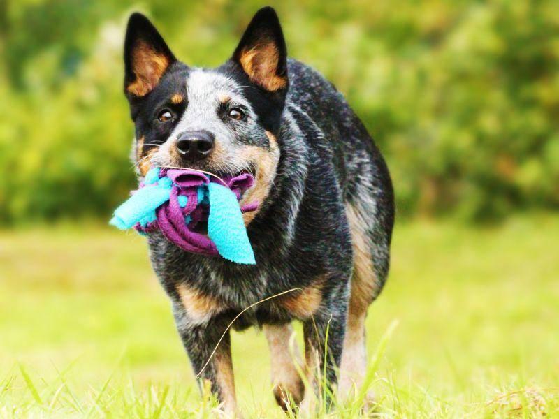 Apportieren? Na klar! Es gibt kaum etwas, was man dem Australian Cattle Dog nicht beibringen kann – Bild: Shutterstock / Denisa Doudova
