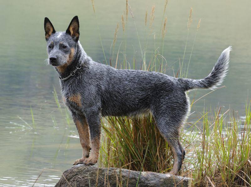 Als kluger, rangbewusster und wachsamer Hund ist der Australian Cattle Dog etwas für erfahrene Hundebesitzer und Kenner der Rasse – Bild: Shutterstock / WOLF AVNI