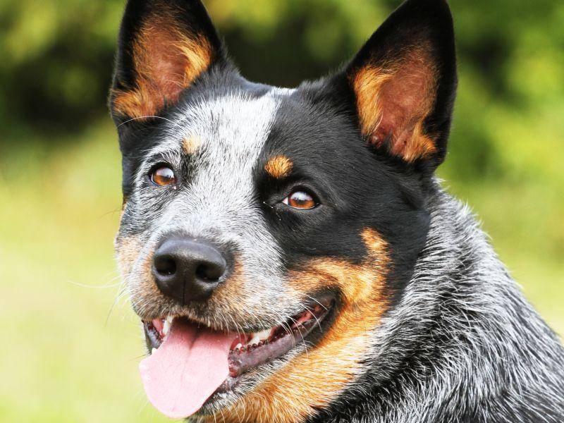 Man sieht es ihm an: Der Australian Cattle Dog strotzt vor Kraft und ist ein richtiges Arbeitstier – Bild: Shutterstock / Denisa Doudova