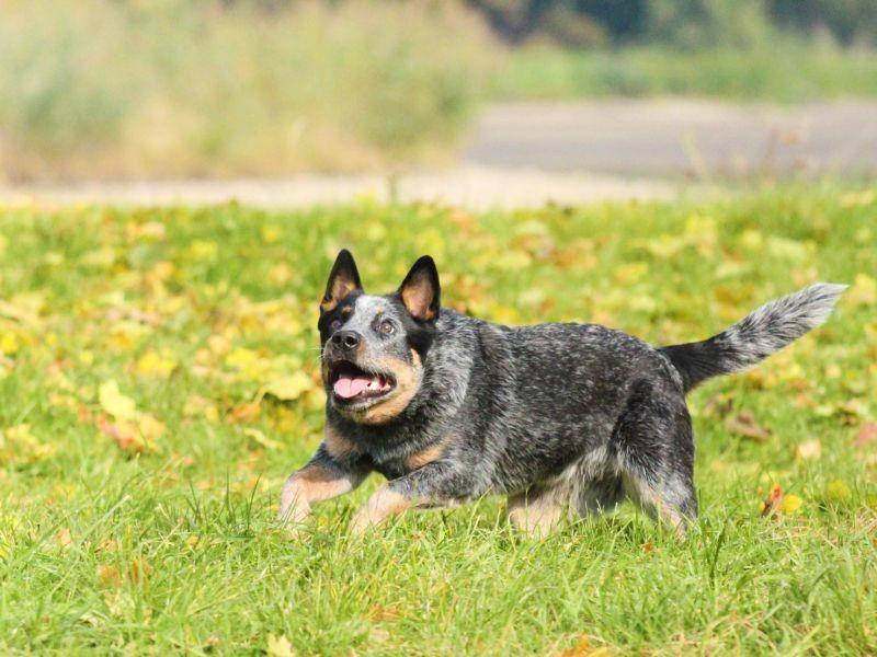 Er ist ein wunderbarer Reitbegleithund und zeigt sein Talent in den verschiedensten Hundesportarten wie Agility – Bild: Shutterstock / Denisa Doudova