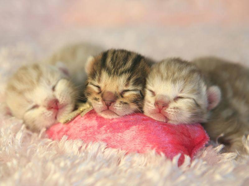 Diese kleinen Bengalen müssen noch ganz viel schlafen, bis sie groß und stark werden – Bild: Shutterstock / Robynrg