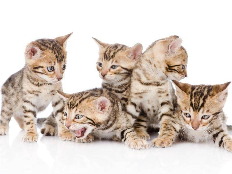 Und zum Schluß noch eine ganze Bengal-Katzenbaby-Bande – Bild: Shutterstock / Ermolaev Alexander