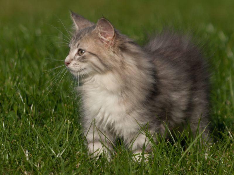 Ausschau halten im Grünen: Die Norwegische Waldkatze ist eben ein Naturbursche! – Bild: Shutterstock / Joanna22