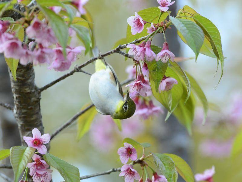 Ein Kolibri in traumhafter Kirschblütenkulisse – Bild: Shutterstock / Allegresse Photography