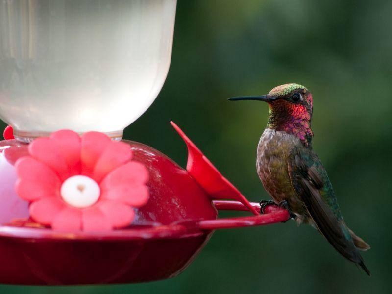 So ein Kolibri-Gefieder schillert oft in den hübschesten Farben – Bild: Shutterstock / Allegresse Photography