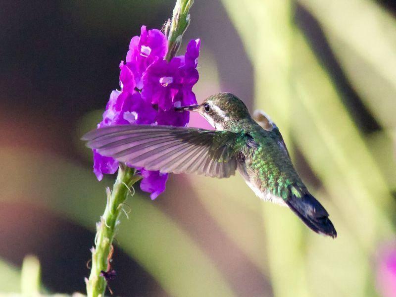 Mehr als 100 Gattungen zählen zur Familie des Kolibris – Bild: Shutterstock / Kent Ellington