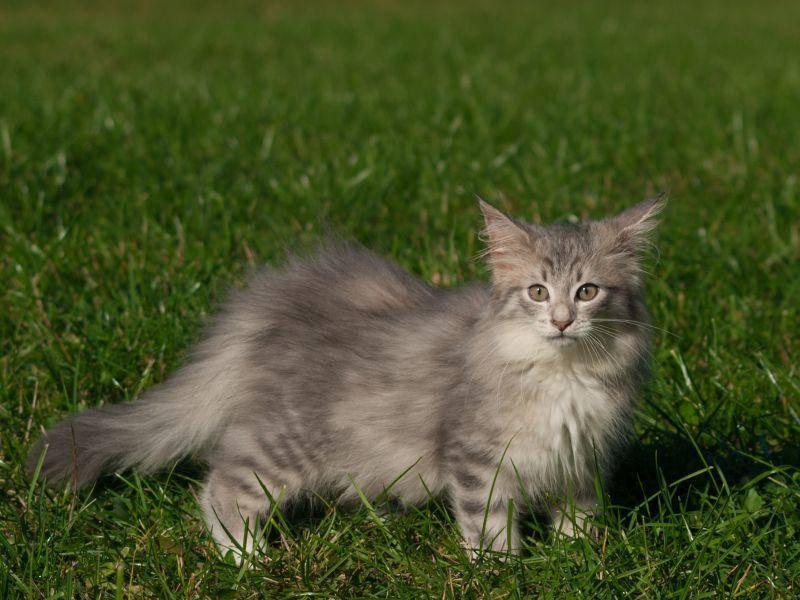Na, bei diesem langhaarigen Norwegischen Waldkatzenbaby gibt es später sicher ordentlich was zu bürsten! – Bild: Shutterstock / Joanna