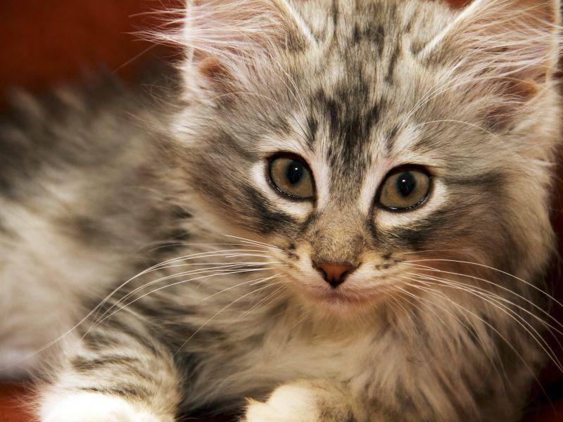 Wunderschön ist die Norwegische Waldkatze auch schon als Jungtier – Bild: Shutterstock / ManxMan