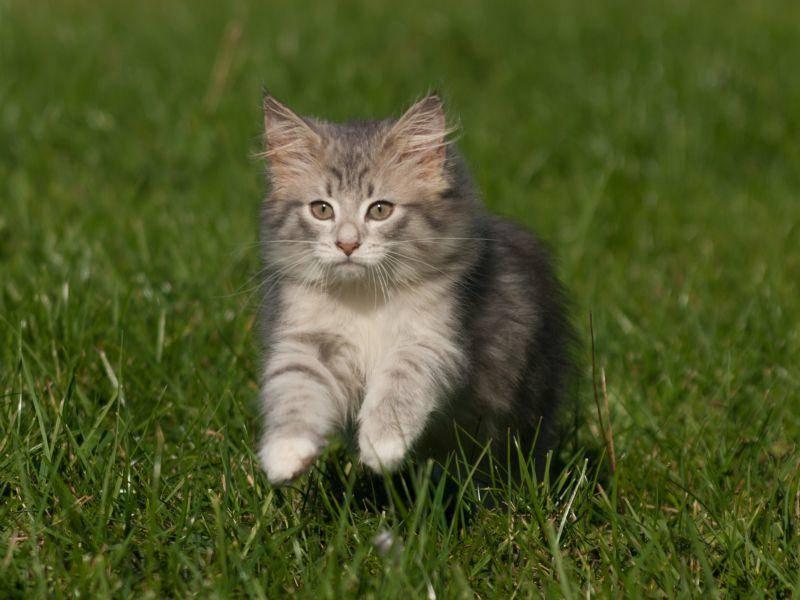 Mit einem Sprung auf die Wiese! Das macht der Norwegischen Waldkatze Spaß! – Bild: Shutterstock / Joanna22