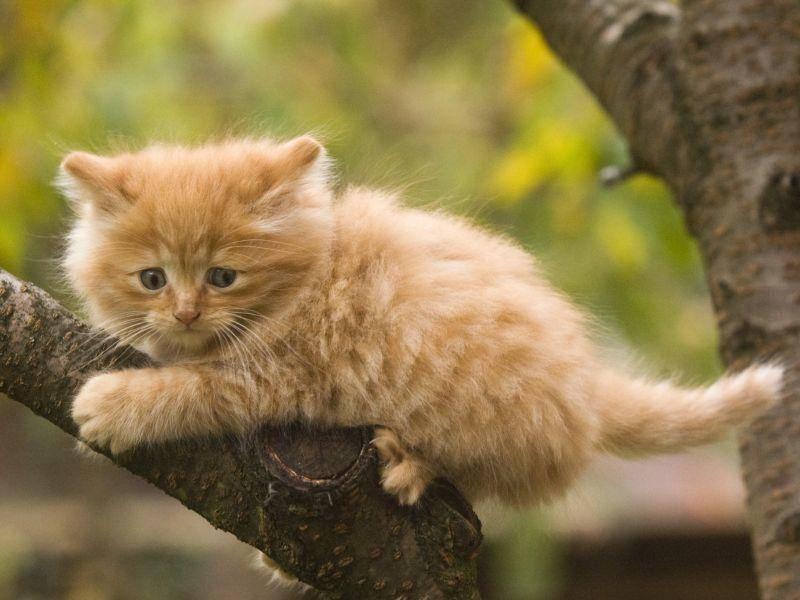"""""""Rauf war so einfach, wie komme ich jetzt wieder runter?"""" Scheint sich diese kleine Norwegische Waldkatze zu denken – Bild: Shutterstock / hosphotos"""