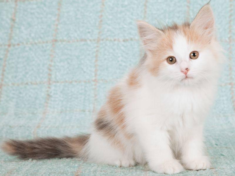 Diese kleine Norwegische Waldkatze hat ein fluffiges und schön gemustertes Fell – Bild: Shutterstock / Linn Currie