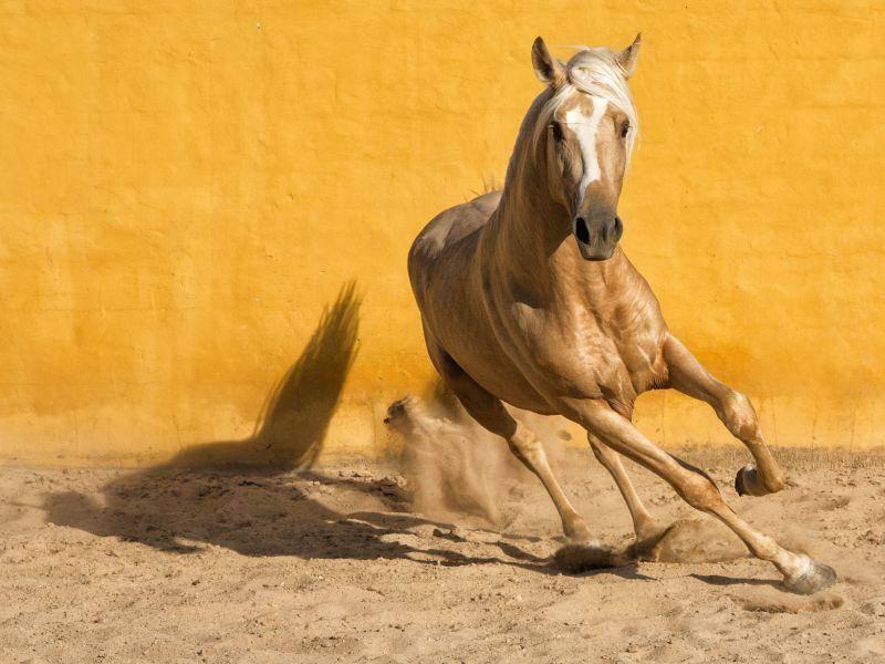 Diese Farbe sieht man nur selten bei Andalusiern: Häufiger sind Schimmel, Rappen und Braune – Bild: Nicole Hollenstein