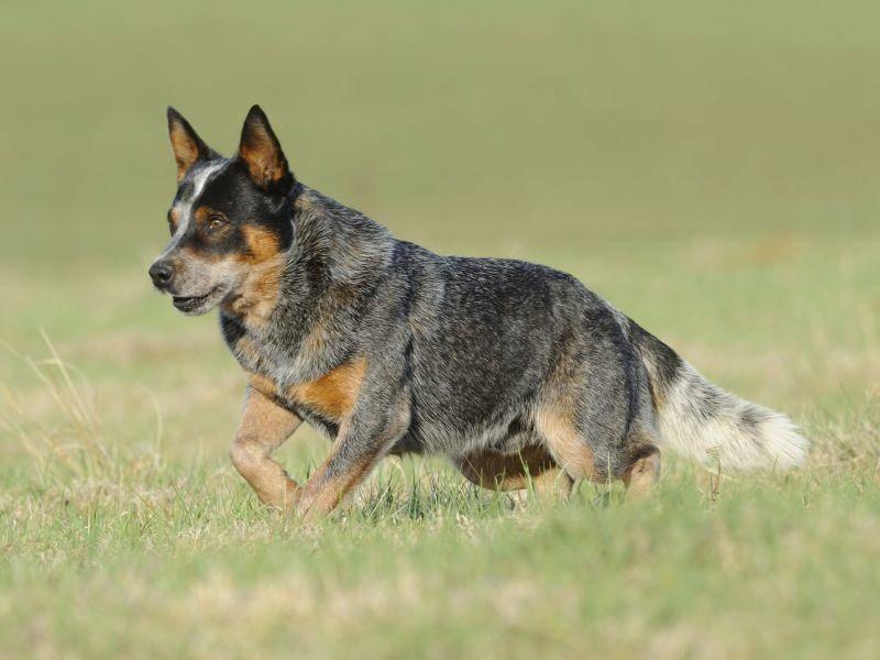 Bei der Arbeit mit Rindern zeigten sich die aus Drover Dogs und Dingos gezüchteten Hunde mehr als talentiert – Bild: Shutterstock / WOLF AVNI