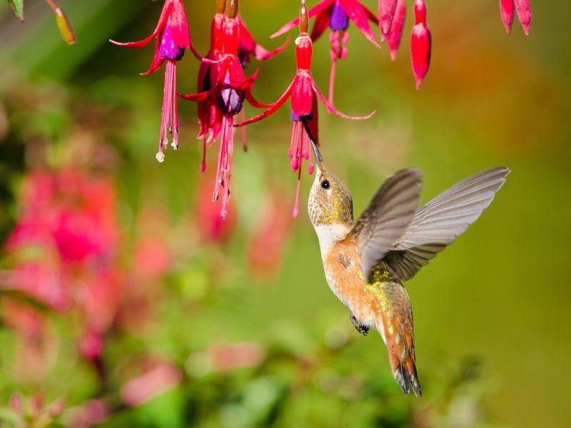 Kolibri beim Nektartrinken: Diese Art trägt den schönen Namen Rotrücken Zimtelfe – Bild: Shutterstock / Birdiegal