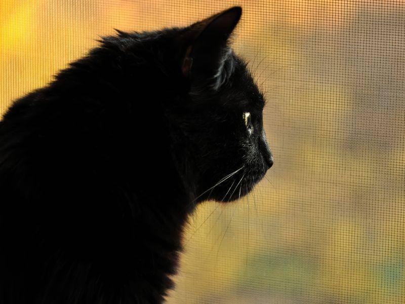 Wie ein Mini-Panther: Rabenschwarze Stubentiger sind faszinierend! – Bild: Shutterstock / Ursa Major