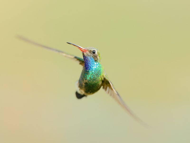 Rund 40 bis 50 Mal bewegt der Kolibri seine Flügel in der Sekunde – Bild: Shutterstock / TMore Campbell