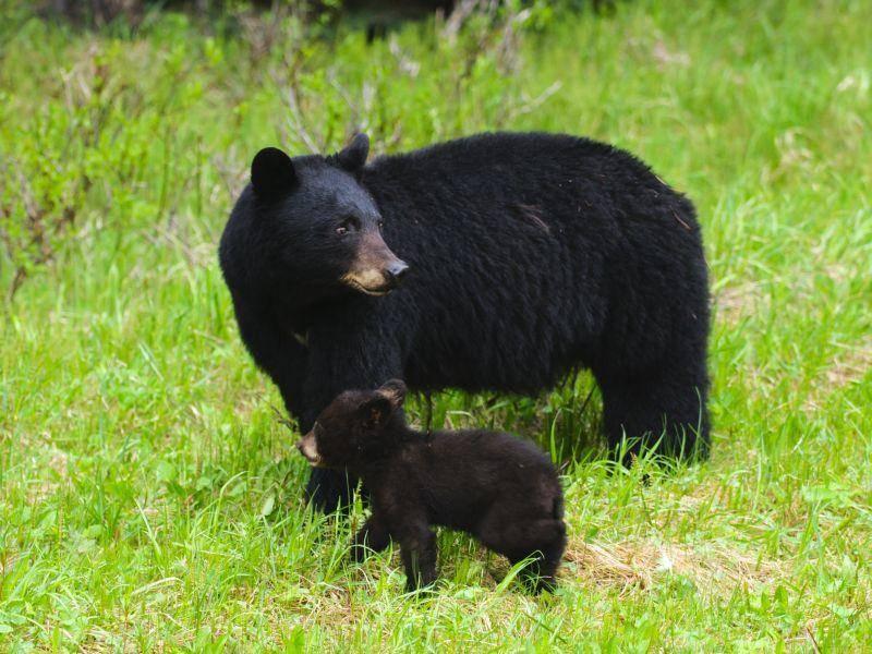 Süße schwarze Bärenfamilie beim gemeinsamen Ausflug – Bild: Shutterstock / BGSmith