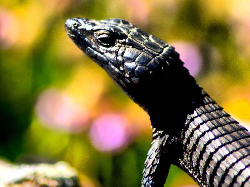 Wie man sieht: Auch Echsen gibt's ganz in schwarz! – Bild: Shutterstock / Twenty20