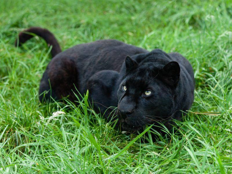 Ein schwarzer Panther lauert auf der Wiese – Bild: Shutterstock / Sarah Cheriton Jones