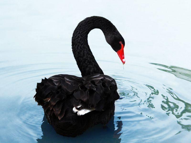 Nur fast ganz schwarz, aber tierisch hübsch, dieser Schwan – Bild: Shutterstock / narcisse