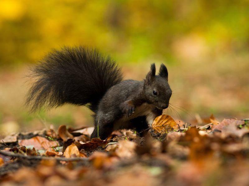 """Süßes schwarzes Hörnchen: """"Wo hab ich denn bloß die Nuss verbuddelt?"""" – Bild: Shutterstock / jurra8"""