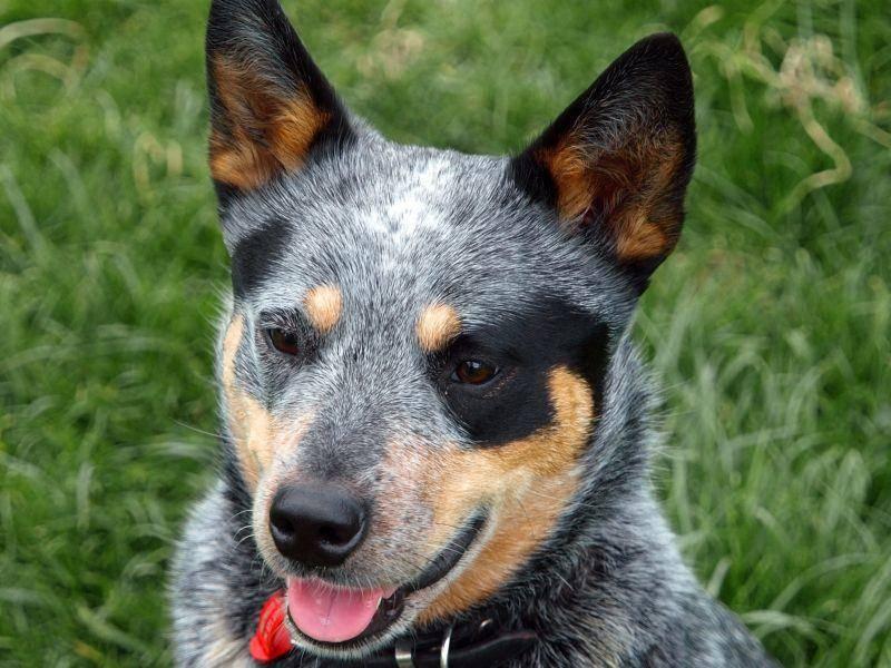 Masken, Flecken, Schattierungen: Viele Australian Cattle Dogs haben auffällige Farbmuster – Bild: Shutterstock / Margo Harrison