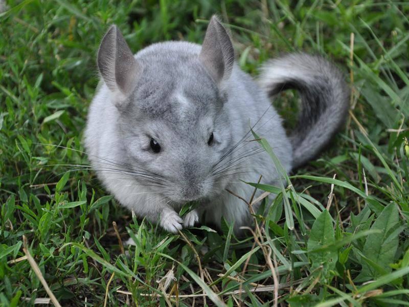 Der flauschige Chinchilla probiert es ganz klassisch mit Gras – Bild: Shutterstock / sanya888