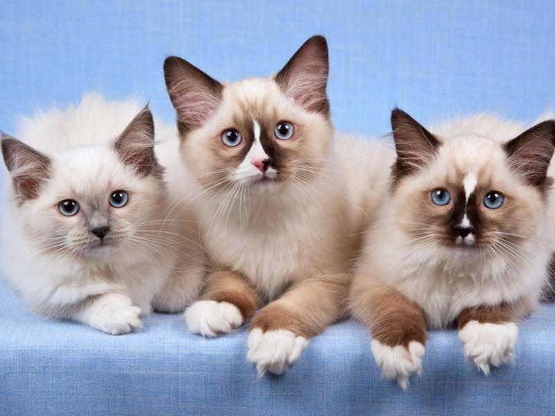 Ihre wunderschönen blauen Augen sind das Markenzeichen der Langhaarkatze – Bild: Shutterstock / Linn Currie