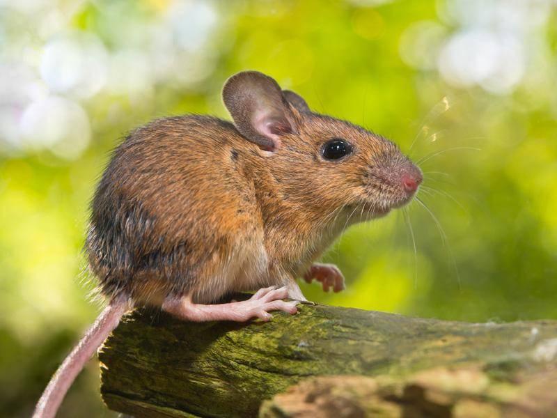 Noch eine Vertreterin der Gattung Feldmaus – Bild: Shutterstock / Creative Nature